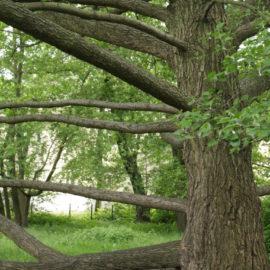 Ein Baum mit vielen langen horizontalen Ästen