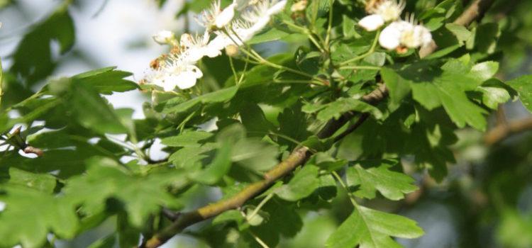 Ein Weißdorn-Ast mit weißen Blüten und Blättern