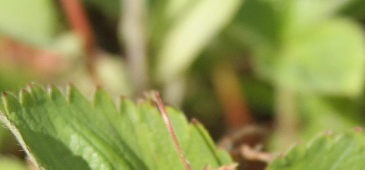 Eine Walderdbeere auf einem Blatt